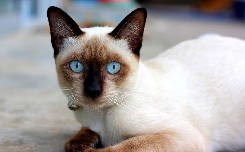 Kucing Siam