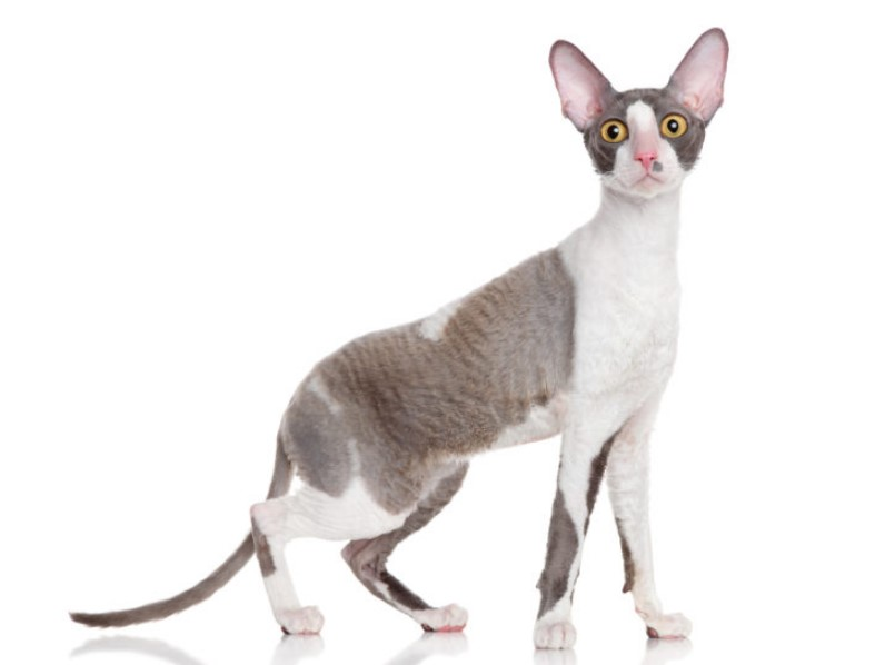 Kucing Cornish Rex